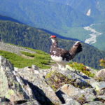 雷鳥フィーバーだった蝶ヶ岳登山(2020年6月15日)
