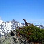 蝶ヶ岳登山で出会えた雷鳥たち